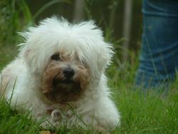 Prisca, chien Bichon bolonais
