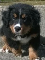 Priscka, chien Bouvier bernois