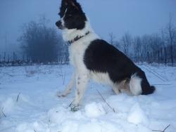 Priska, chien Bearded Collie