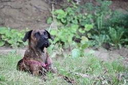 Priska, chien Boxer