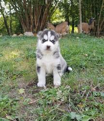 Peewa, chiot Husky sibérien