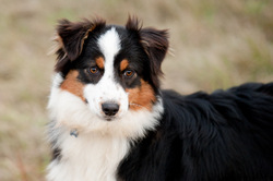 Priska, chien Berger australien
