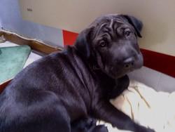 Prissy, chien Shar Pei