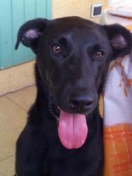 Prune, chien Braque allemand à poil court