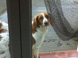 Prunel, chien Épagneul breton