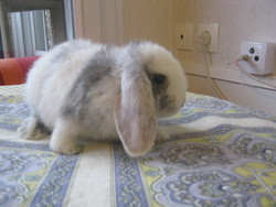Prunelle, rongeur Lapin
