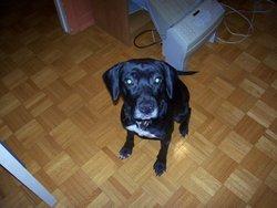 Prunelle, chien Beagle