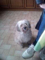 Prunelle, chien Bichon à poil frisé
