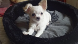 Prunelle, chien Chihuahua