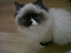 Prunelle, chat Ragdoll