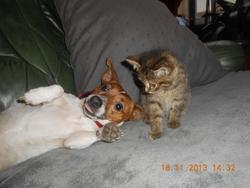 Prunelle, chien Jack Russell Terrier