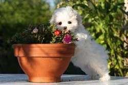 Prunelle, chien Bichon maltais