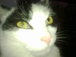 Prunette, chat Européen