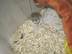 Sunday, rongeur Hamster