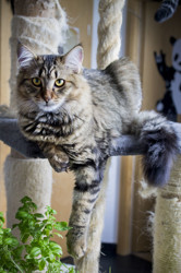 Psystigri, chat Européen