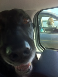 Pti Loup, chien Labrador Retriever