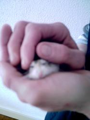 Ptibidule, rongeur Hamster