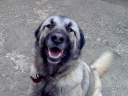 Ptilou, chien Berger belge
