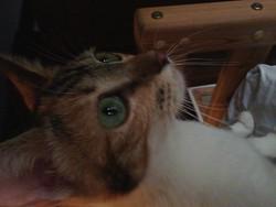 Ptit Fleur, chat Européen