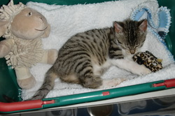 Ptit Grisou, chat Gouttière