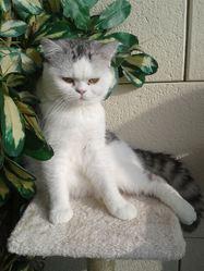 Ptit'Loup, chat Exotic