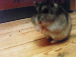 Puca, rongeur Hamster