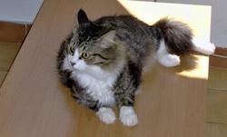 Pucca, chat Norvégien