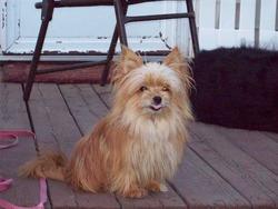 Puce, chien Yorkshire Terrier