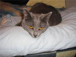 Puce, chat Chartreux