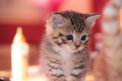 Pucette, chat Européen