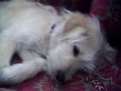 Puchi, chien Bichon havanais