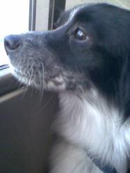 Puchi, chien Épagneul breton