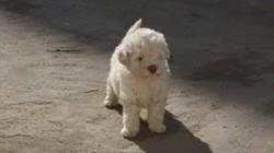 Puchka, chien Caniche