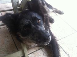 Puck, chien Berger australien