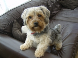 Puffy, chien Yorkshire Terrier