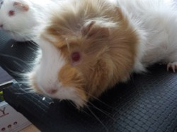 Puffy, rongeur Cochon d'Inde