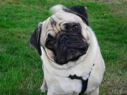 Pugga, chien Carlin