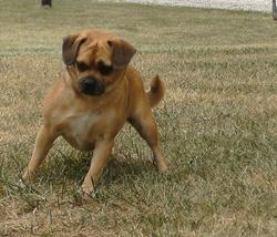 Puggy, chien Carlin