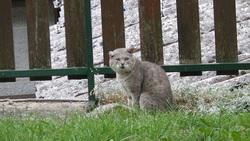 Puma, chat