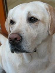 Puma, chien Labrador Retriever