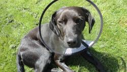 Pumba, chien Labrador Retriever