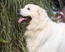 Pumba, chien Berger de Maremme et des Abruzzes