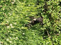 Pumba, chiot Rottweiler