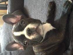 Punchy, chien Bouledogue français