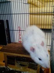 Puncky Rip, rongeur Rat