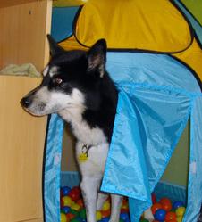 Punker, chien Malamute de l'Alaska