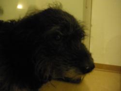 Punkie, chien