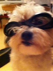 Punkie, chien Coton de Tuléar