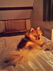 Punky, chien Spitz allemand