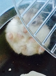 Pup, rongeur Hamster